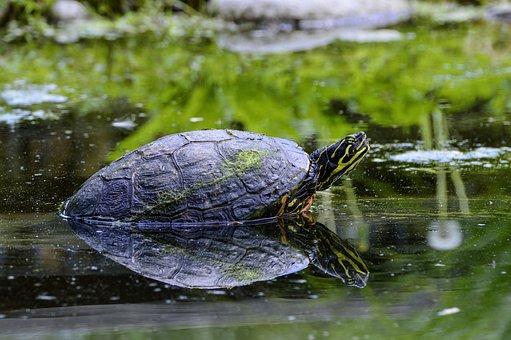 Florida, Rotbauch, Eared, Marsh Turtle, Turtle, Pond