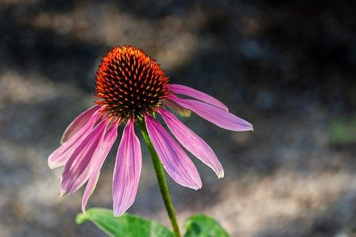 Coneflower, Flower, Blossom, Bloom, Pink, Red, Violet