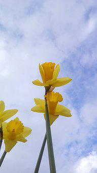 Daffodils, Yellow, Flowers, Flower, Nature, Plants