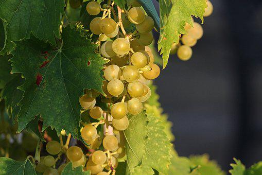 Grape, Grapes, Vines, Mature, Green, Winegrowing