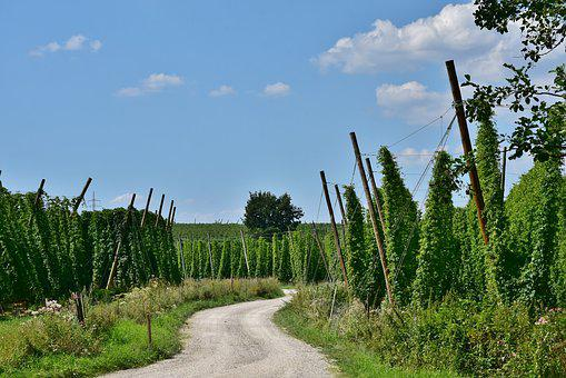 Hops, Beer, Growing Area, Bavaria, Hallertau, Holledau