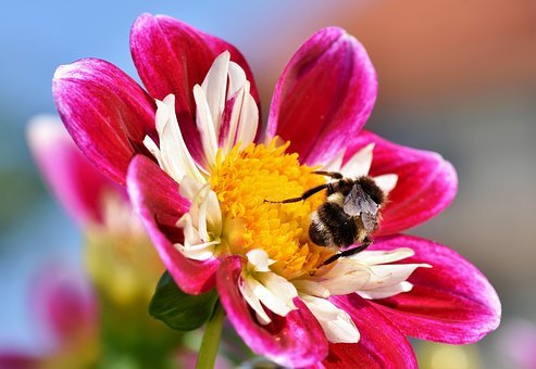 Zinnia, Composites, Asteraceae, Hummel, Insect
