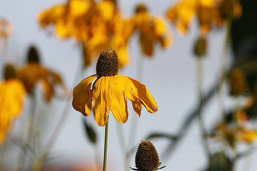 Coneflower, Echinacea, Korblütler, Flower