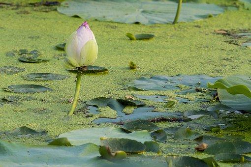 Lotus, Flowers, Aquatic Plants, Summer, Lotus Leaf