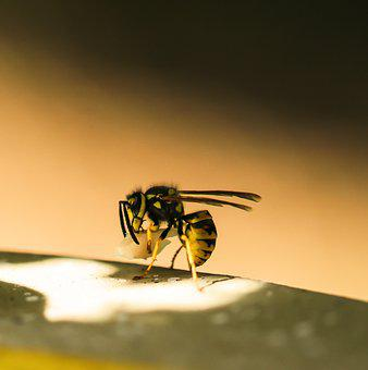 Animal World, Insect, Wasp, Sting, Flying, Meat, Hunger