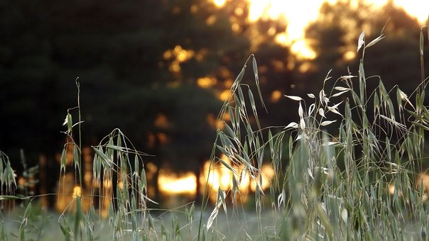 Oats, Forest, Nature