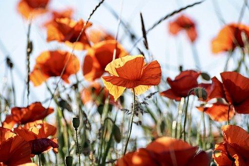 Poppy, Flowers, Red, Plant, Flora, Klatschmohn