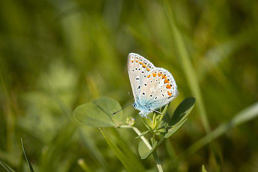 Silver-studded Blue, Common Blue, Butterfly, Insect