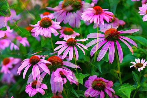 Coneflower, Sun Hat, Flower, Pink, Plant, Echinacea