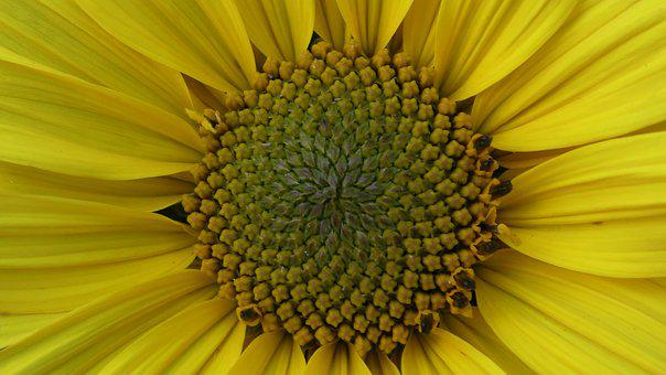 Sunflower, Plant, Flower, Yellow, Summer, Blossom