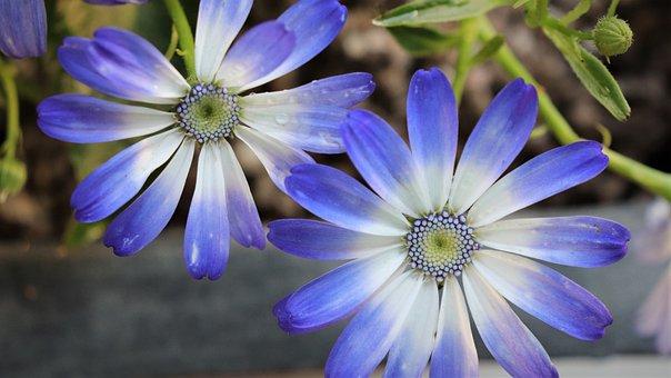 Chrysanthemum, Sunshine, Flowers, Blue Flower