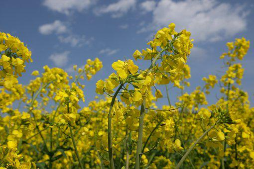 Rapeseed, Blooming, Spring, Field, The Cultivation Of