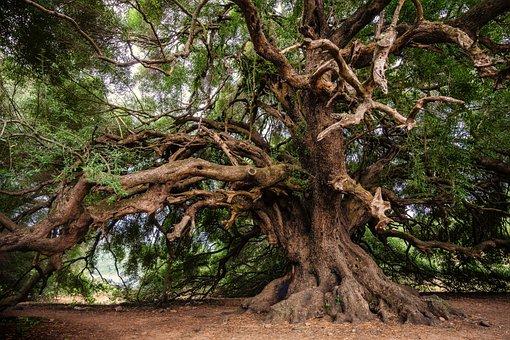 Olive Tree, Tree, Olivier, Old, Nature, Log, Tribe