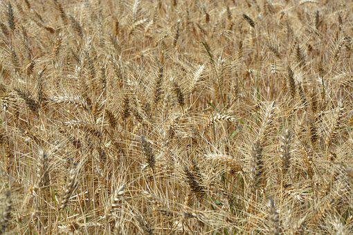 Wheats, Wheat Fields, Agriculture, Harvest, Field