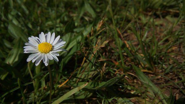 Daisy, Flower, Nature, White, Yellow, Green, Spring