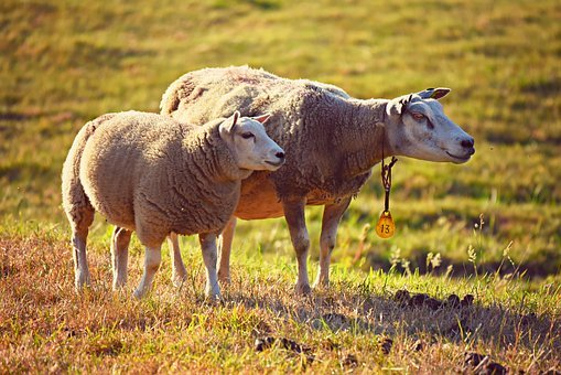 Sheep, Animal, Mammal, Wool, Ruminant, Even-toed, Two