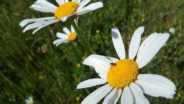 Daisies, Flowers, Nature, White, Yellow, Green, Spring