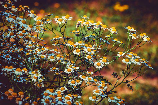 Feverfew, Blossom, Bloom, White, Yellow