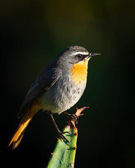 Cape Robin-chat, Bird, Animal, Nature, Wildlife, Robin