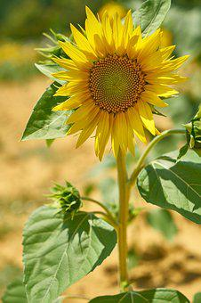 Sunflower, Yellow, Beautiful, Plant, Flowers, Nature