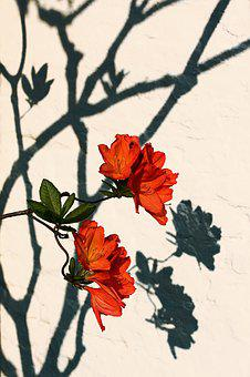 Blossom, Bloom, Flower, Plant, Bush, Red, Shadow