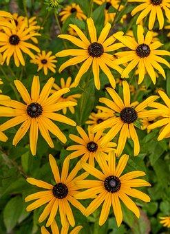 Flowers, Plant, Black Eyed, Rudbeckia, Yellow, Blossom
