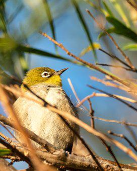 Cape White-eye, Bird, Robin, Nature, Branch, Wildlife