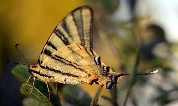 Dovetail, Papilio Machaon, Butterfly, Southern Europe