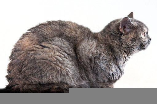 Cat, Side View, Mammal, Female, Pet, British Shorthair