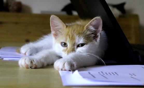 Cat, Sleep, Office, Break, Desk, Animal, Red, White