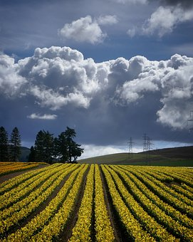 Agriculture, Daffodils, Clouds, Scotland, Crops
