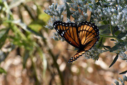 Viceroy Butterfly, Wings, Summer, Orange, Colorful