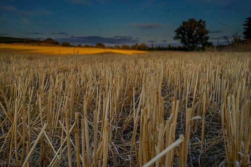 Field, Cornfield, Sunset, Wheat, Grain, Nature