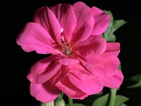 Pink Flower, Pistils, Pistil, Flower, Plant, Petal