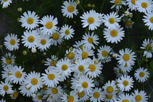Daisy, Drug, Chamomile, Flowers, Herbal Medicine