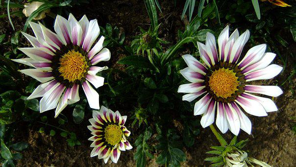 Gazania, Nature, Flowers, Garden, In The Summer Of