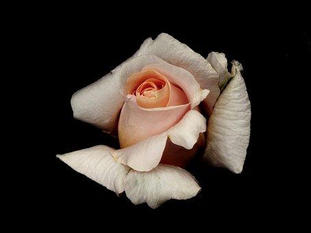 Flower, Rose, Beauty, Garden, Love, Summer, Nature