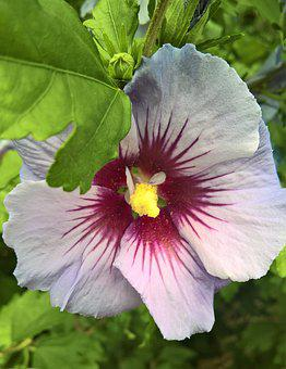 Flower, Hibiscus, Marshmallow, Garden Hibiscus
