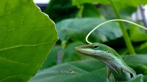Green Anole, Reptile, Green Reptile Anole