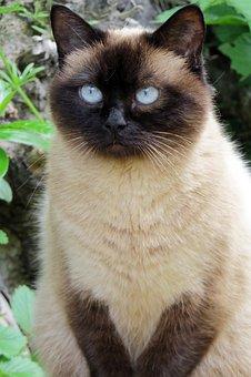 Cat, Blue Eye, Hell, Dark, Fur, Hair