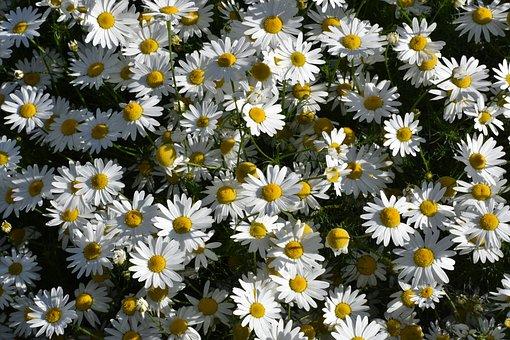 Daisy, Drug, Flowers, Herbal Medicine, Healthy, Image