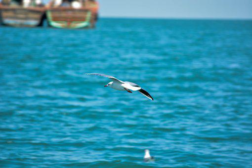 White Pigeon, Sea, India, Indian Ocean, Sea Birds