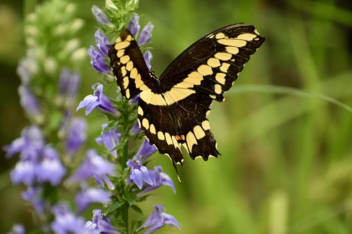 Swallowtail, Butterfly, Nature, Insect, Summer, Natural