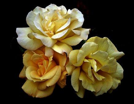 Roses, Flowers, Garden, The Petals, Summer, Macro