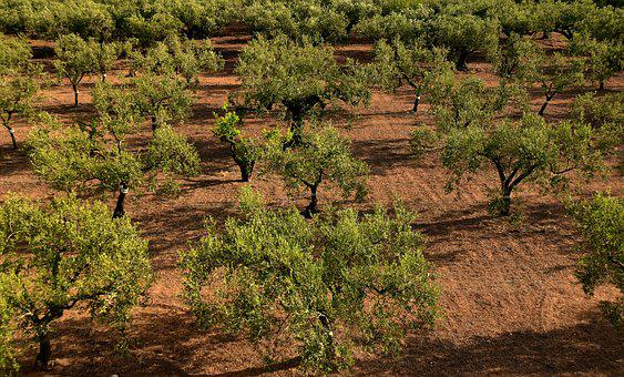 Olive Trees, Olive Field, Mediterranean, Agriculture