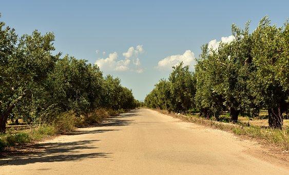 Avenue, Trees, Olive Trees, Mediterranean, Plantation