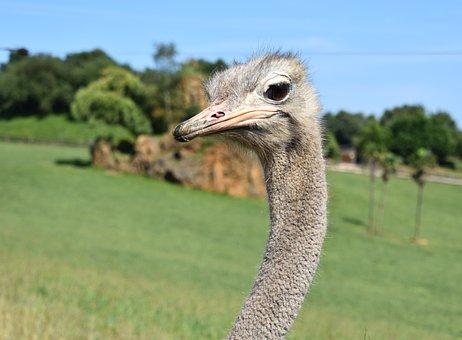 Ostrich, Animal, Animals, Birds, Peak, Nature