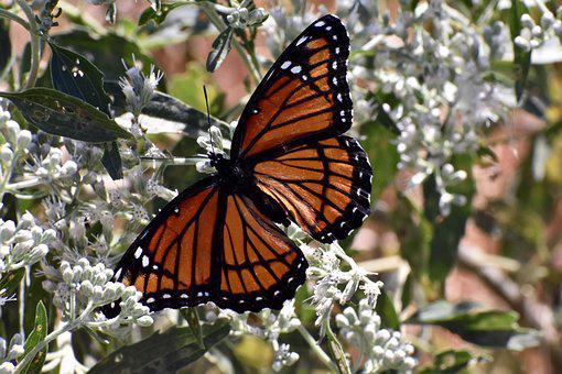 Viceroy Butterfly, Wings, Orange, Colorful, Nature
