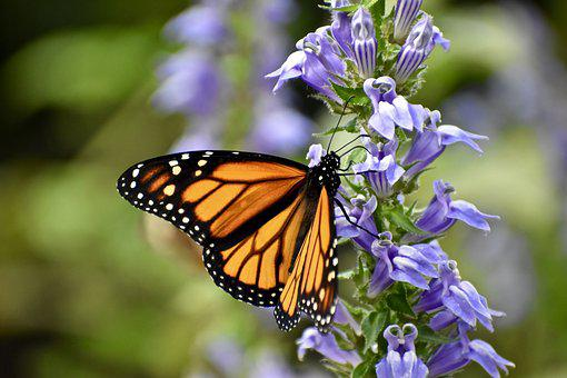 Monarch Butterfly, Orange, Insect, Nature, Summer