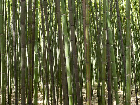 Bamboo, Forest, Plants, Trees, Tree, Nature, Green